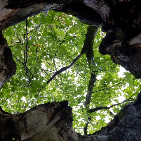 The tree is hollow inside and allows a view to the sky.